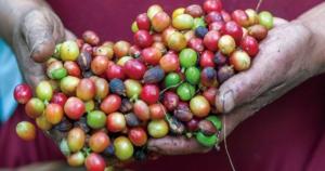 コーヒーの収穫について