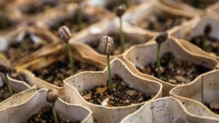 コーヒーの苗床ー発芽まで